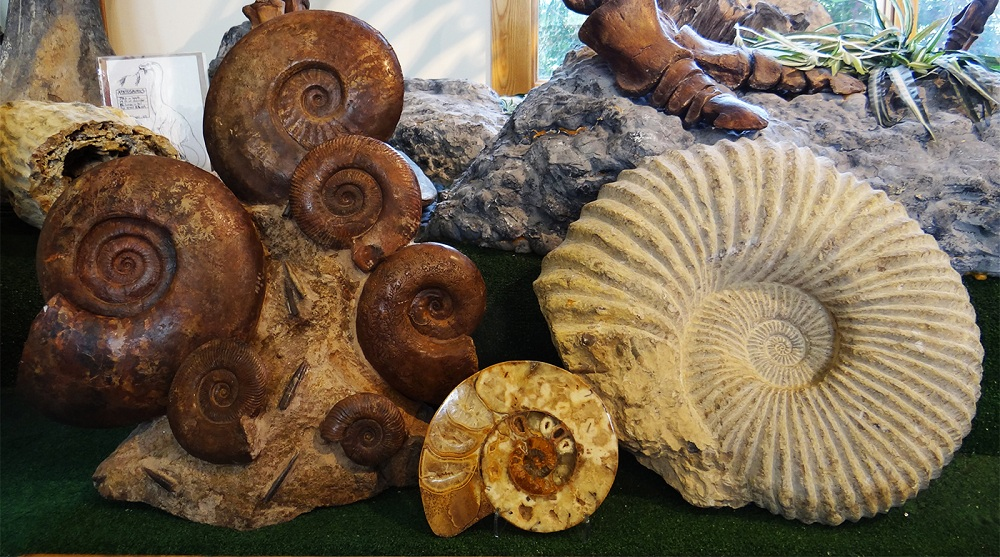 Ammonites and What to Know When Buying Fossils | Daily
