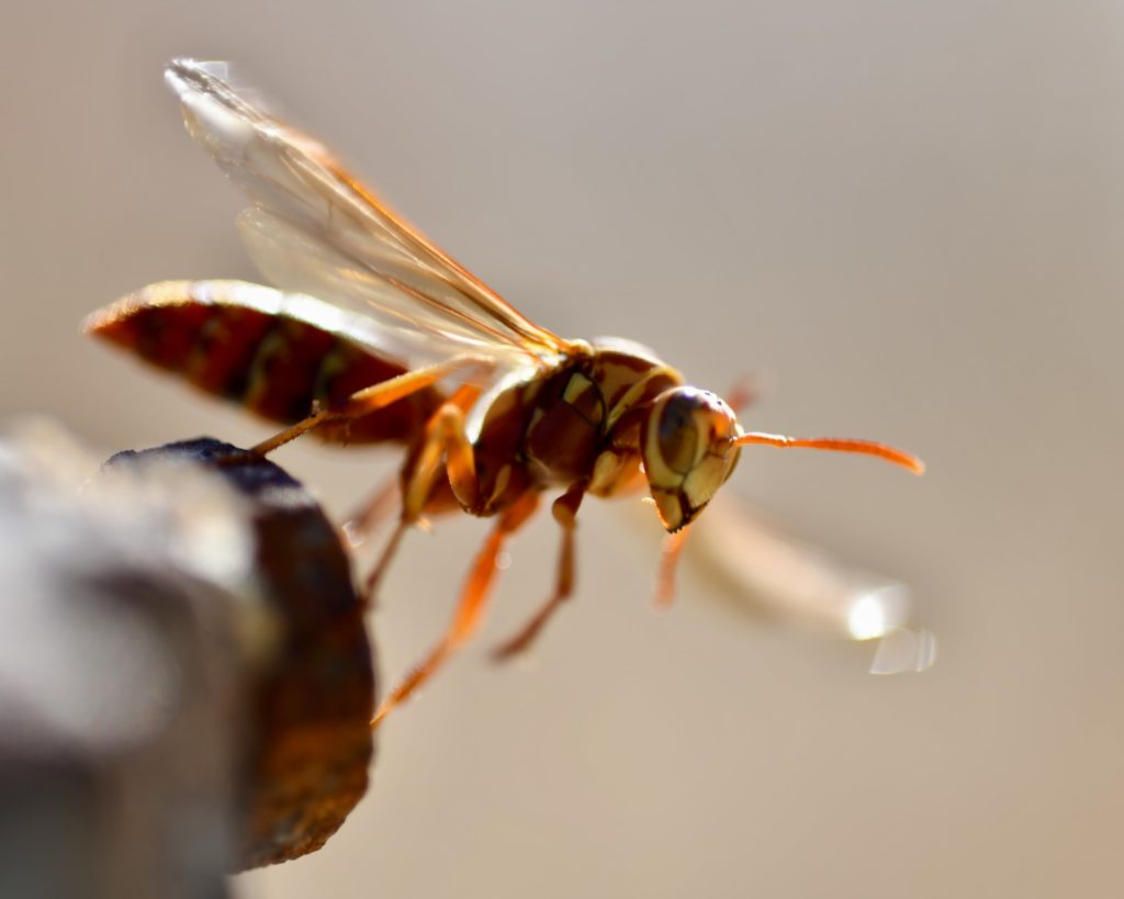 executioner-wasp
