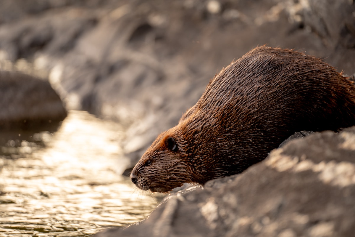 beaver about to hop into the water